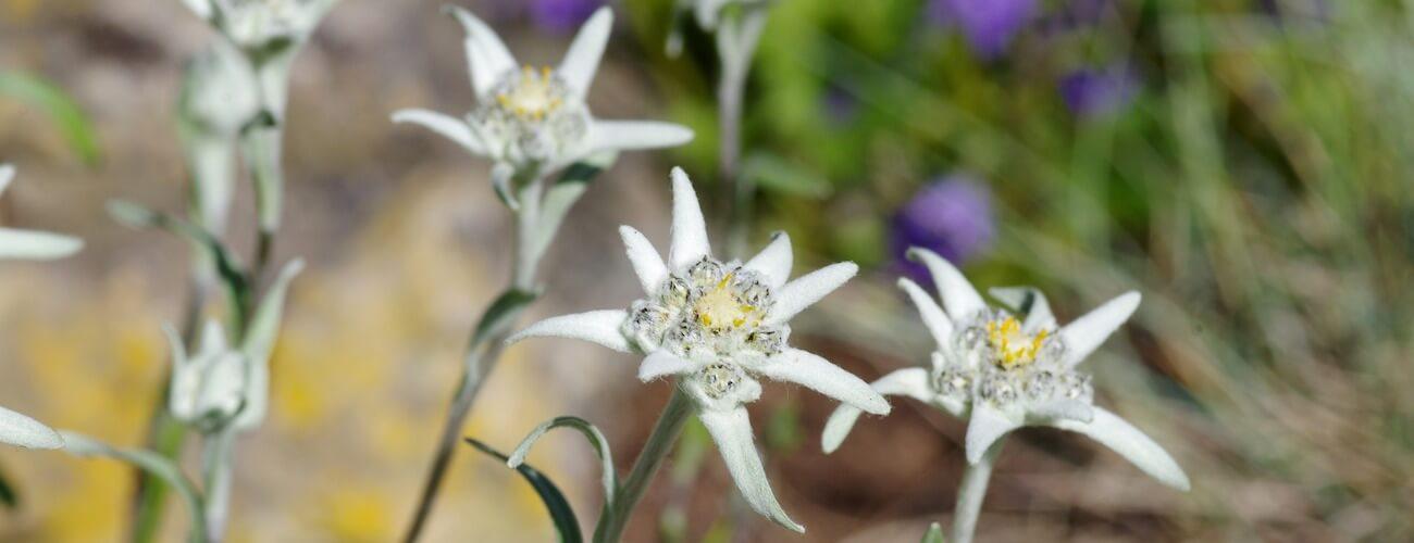 edelweiss Portada