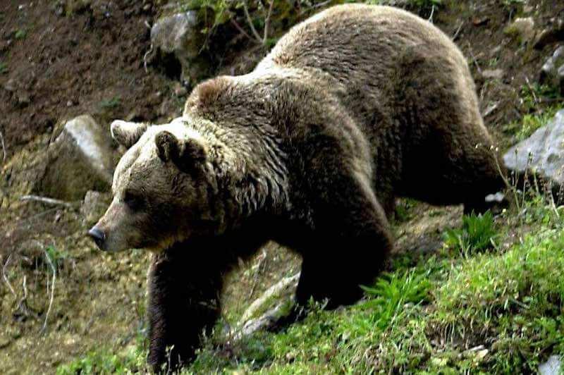 Oso pardo fauna y flora del valle de Aran